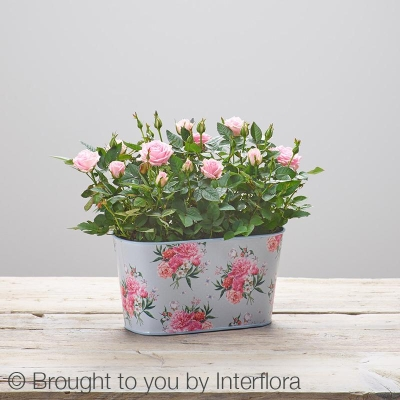 Mothers Day Rose Tin